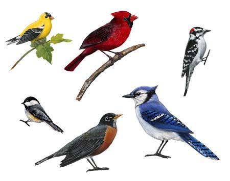 (Walls of the Wild Song Birds Vinyl Wall Decals Collection)