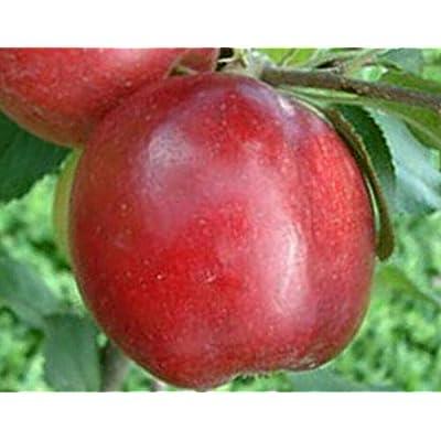 AchmadAnam - Live Plant - Apple RED June Orchard Fruit Tree Semi-Dwarf 3-4 ft : Garden & Outdoor