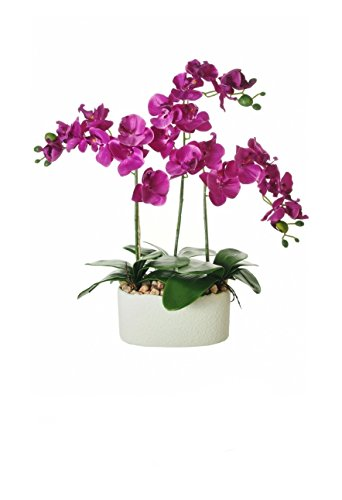 everlasting triple moth orchid complete with pot potted orchid in 5