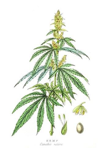 Cannabis Plant Marijuana Botanical Engraving 1857 Art Print