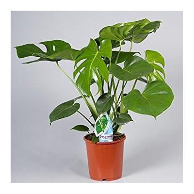 Philodendron Split-Leaf Pole Live Plant Fit 1 Quart Premium Foliage Plant : Garden & Outdoor