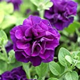 100 Double Wave Blue Velvet Petunia Seeds