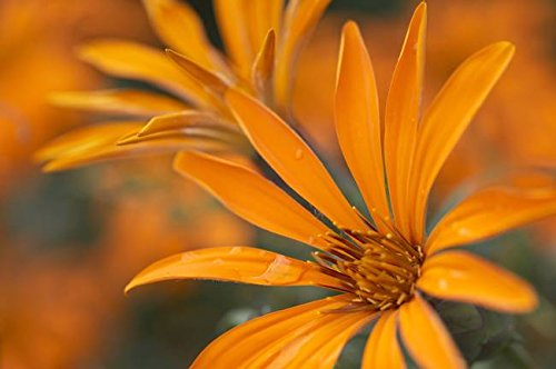 Wall Art Print Entitled Close Up  Metusia Naranja Flower  Patagonia  Argen By Design Pics   16 X 11
