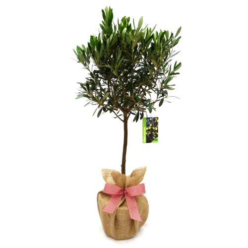 OLIVE TREE PLANT GIFT-Superb Plant Gift,Flower Gift For Mothers ...