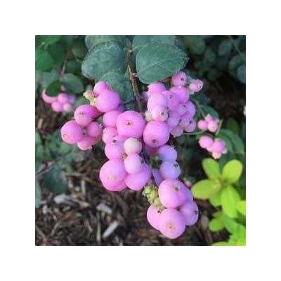"Symphoricarpos-Proud-Berry - 8"" Jumbo Pot (Shrub) : Garden & Outdoor"