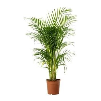 palmier kentia ikea