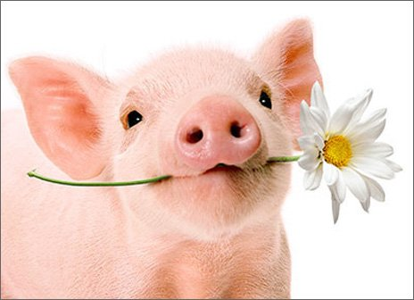 Pig Holds Flower Blank Card -