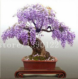 10 pcs rare bonsai wisteria purple chinese flower wisteria seeds mini bonsai for home garden planting SVI
