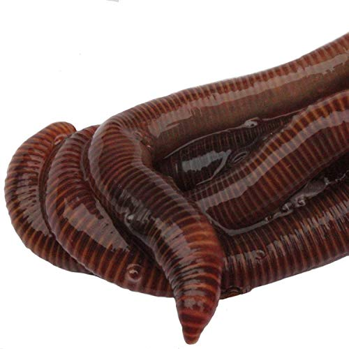 HomeGrownWorms - 500 Red Wigglers - Composting Red Worms - Live Delivery Guaranteed - Same Day Shipping!!! - Vermicomposting Garden Red Wrigglers - Eisenia Fetida ()