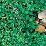 Herb Seeds - Pennyroyal - 2500 Seeds