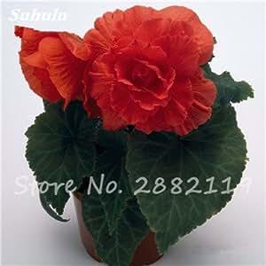 Nueva Balcón de la planta 20 de las PC coloridas Semillas Begonia flor rara Rose Rieger begonia begonia de flor de interior Plantas para el jardín Bonsai 17