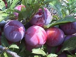 Ozark Premier Plum Tree Certified 5 Seeds #3930 Item UPC#636134972434