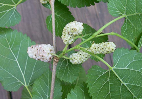 3 Bare Root Plants White Mulberry Tree Edible Berry Fruit Live Healthy 12-18'' Tall V2 by Iniloplant (Image #1)
