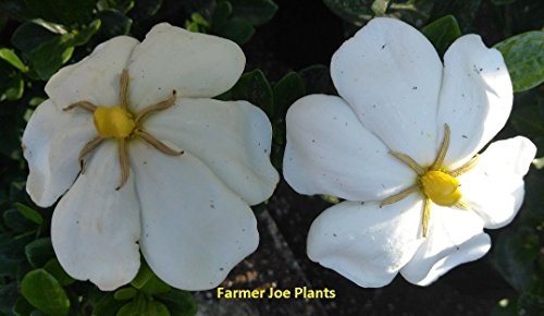 Gardenia - Daisy - Cape Jasmine - White -1 Plant - 4