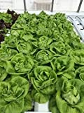 Hydroponic Buttercrunch Lettuce Seeds - REX - Pelleted - Certified Non-GMO NFT DWC Boston Bibb (100 seeds)