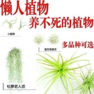 100pcsBonsai seeds seeds Succulent pineapple mini air purifier air Tillandsia seed seeds Home & Garden