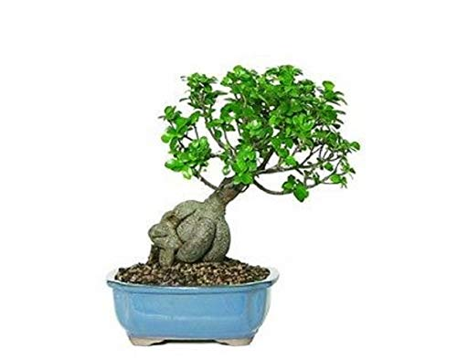 Gensing Grafted Ficus Bonsai Tree Plant Live 5 Years Old Tropical Beauty Home V3 by Iniloplant (Image #1)