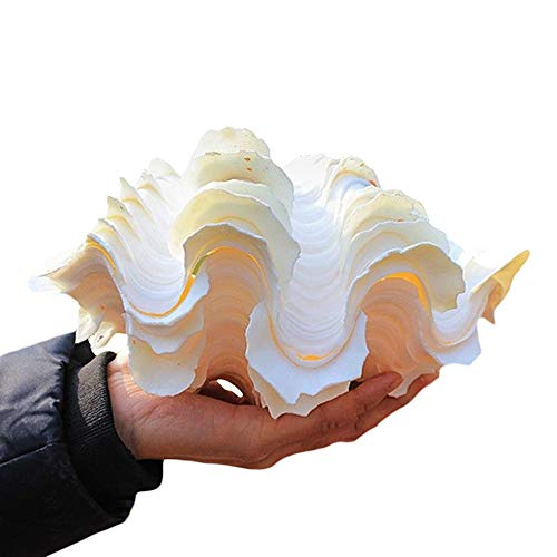 - tong gu Natural Shell Clam Tridacna Conch for Gifts Fish Tank Decors Jewelry Boxes