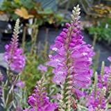 Obedient Plant Pink Manners Flower Seeds (Physostegia Virginiana) 100+Seeds