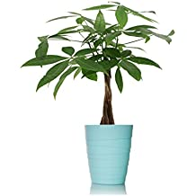 Just Add Ice 401127 Ocean Breeze Money Tree Plant, Light Blue Teal