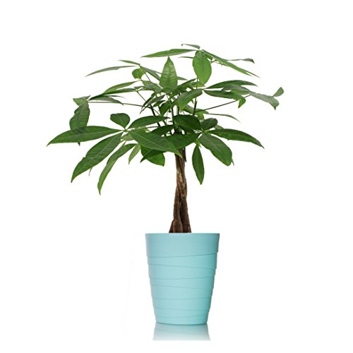 Just Add Ice 401127 Ocean Breeze Money Tree Plant, Light Blue (Just Add Ice)
