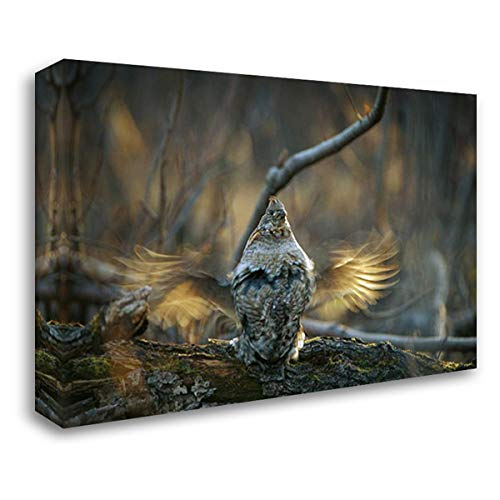 Ruffed Grouse Male Drumming During Courtship, North America 40x28 Gallery Wrapped Stretched Canvas Art by Quinton, Michael