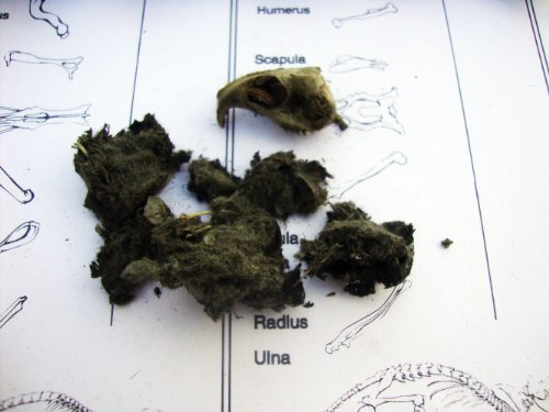 Owl Pellets (Set of 5 with Bone Chart) - http://coolthings.us