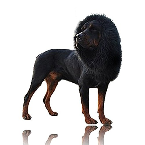 Best Black Dog Costumes - Lion Mane Wig with Tail for Dog, Loveone Fancy Adjustable Hairpiece, Pet Fashion Costume for Big Dog to join Halloween/ Christmas/ Easter Festival Party (Black)