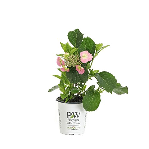 Tuff Stuff Reblooming (Mountain Hydrangea) Live Shrub, Blue, Pink, and Purple Flowers, 4.5 in. Quart by Proven Winners