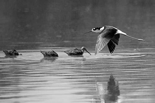 Flying Black Necked Stilt Black and White Bird In Flight Fine Art Photograph