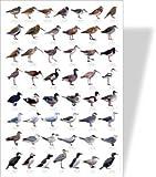 Shore & Estuary Birds Educational Poster - 50 European Wetland Birds