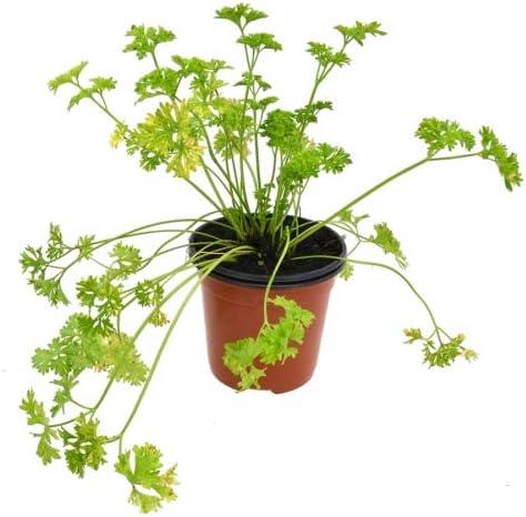 Perejil Rizado Francés 10cm Petroselinium Crispum Planta Cocinar ...