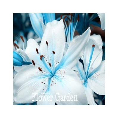 New Arrival!50 PCS/Bag Senior Perfume Lily Seed, 22 Varieties Garden Plants Flower Seed Bonsai Lily Seed, #8QTSXN : Grocery & Gourmet Food