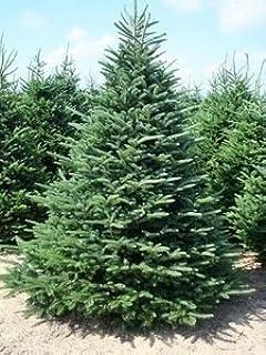 Amazon.com: Douglas Fir Tree Christmas Tree - 100 Seeds: Home ...