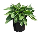 Hosta Francee in 1 Gallon pot (Variegated Hosta)