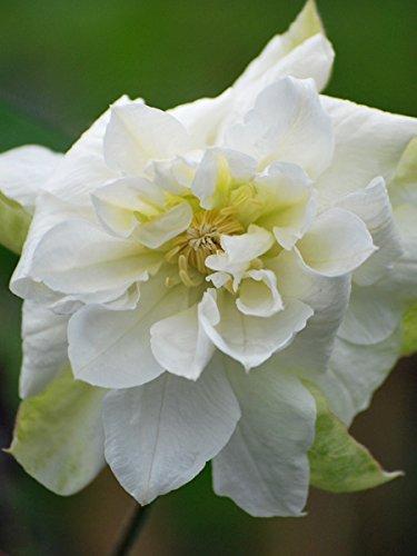Amazon perennial farm marketplace duchess of edinburgh perennial farm marketplace duchess of edinburgh clematis hybrid flowering vine 4 quart white mightylinksfo