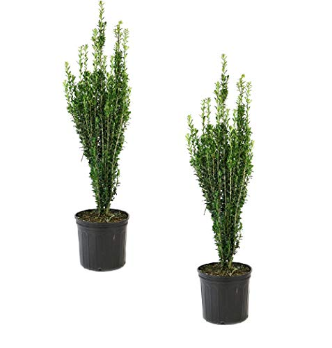 Cottage Hill Holly 'Sky Pencil' - 2 Piece Live Plant, Green - Japanese Pencil Tree