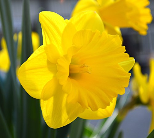 100 Bulbs Daffodil Dutch Master Landscaper Special