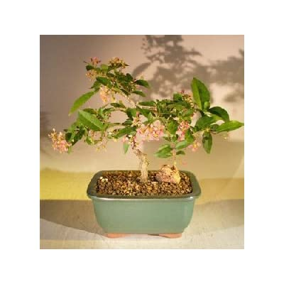 Bonsai Boy's Flowering Dwarf Weeping Barbados Cherry Bonsai Tree Malpighia Pendiculata : Bonsai Plants : Grocery & Gourmet Food