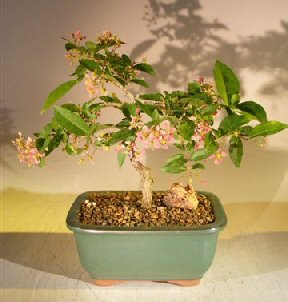 Bonsai Boy's Flowering Dwarf Weeping Barbados Cherry Bonsai Tree Malpighia Pendiculata by indoorbonsaiandexotics (Image #1)