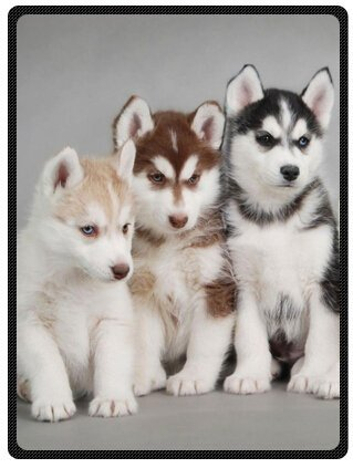Siberian Husky Puppies Blake Blanket