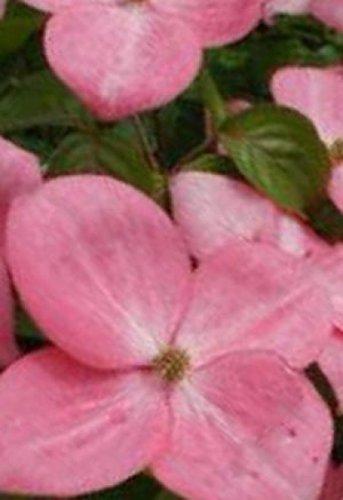 Japanischer Blumen-Hartriegel - Cornus x rutgersiensis - Stellar Pink - robust - schlanker Wuchs - 40-60 cm