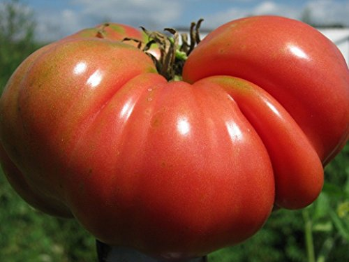 Mortgage Lifter Tomato 15 Seeds- Heirloom Non-Gmo- Fresh Garden (Mortgage Lifter Tomato)