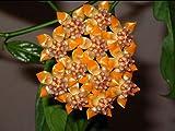 100 Seeds Ball Orchid Flower Seeds Perennial Hoya Carnosa 4 #32673783789ST