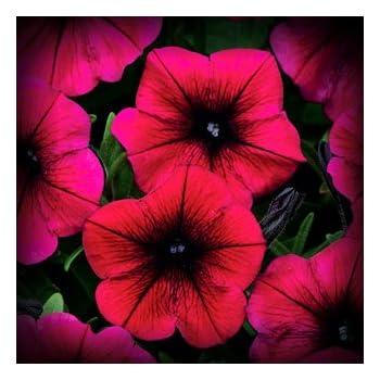 shock wave deep purple petunia flower seed pack 100 stratisfied seeds