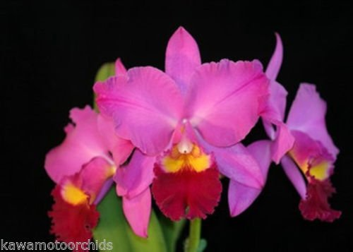 Pot. Perfect Choice 'Purple Lady' BM/JOGA- Easy 2 Grow! Fragrant! Collectors Orchid plant