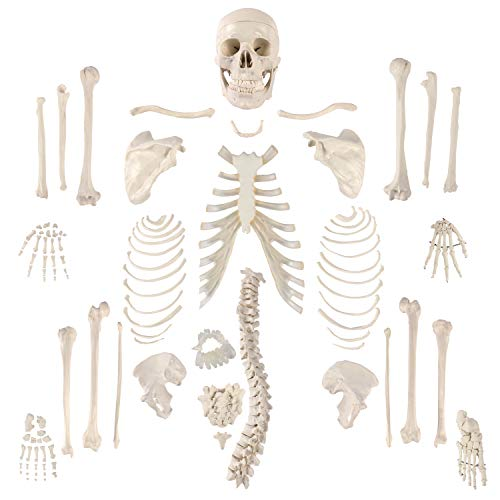 Houseables Disarticulated Human Skeleton, Full Anatomical Model, Life Sized, 62