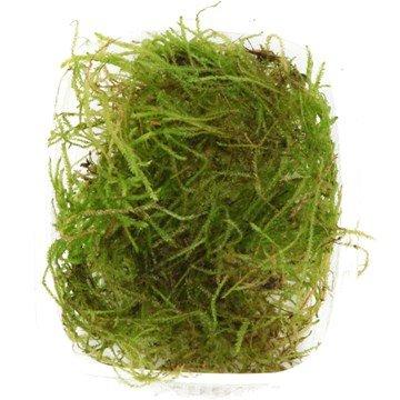 Musgo de Java (Vesicularia dubyana), planta viva para acuarios: Amazon.es: Productos para mascotas