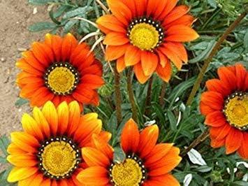 30 graines vegherb Cr/ème Orange Gazania Graines de Fleurs//r/éensemencement annuel