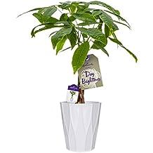 Hallmark Flowers Money Tree in 5-Inch White Ceramic Container